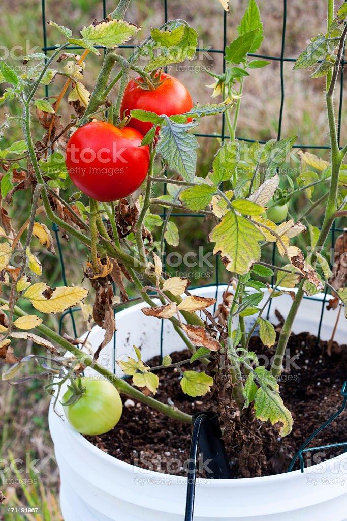 Red Beefsteak Tomatoes in a Bucket Garden stock photo