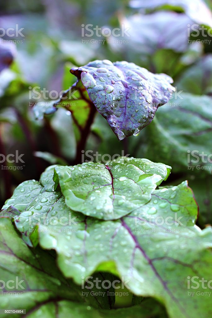 red beet leaves covered with water drops close up stock photo