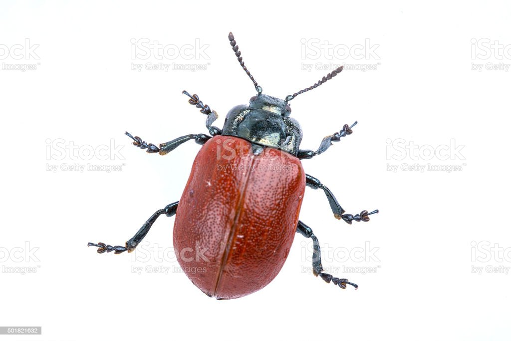 Red beetle on white background from family Chrysomelidae stock photo