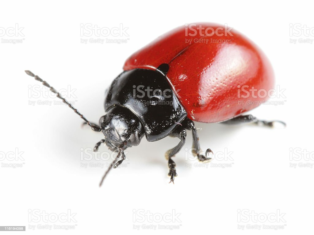 Red beetle royalty-free stock photo
