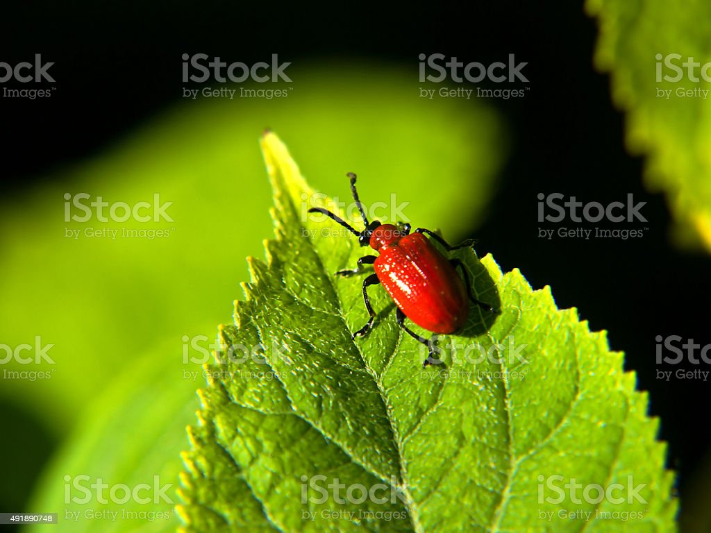 red beetle stock photo