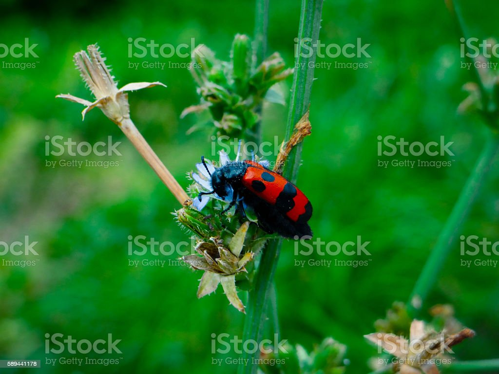 red beetle with black dots sitting in a blue flower stock photo