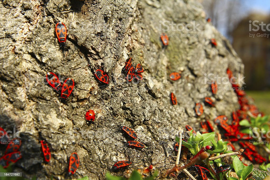 red beetles on spring sun royalty-free stock photo