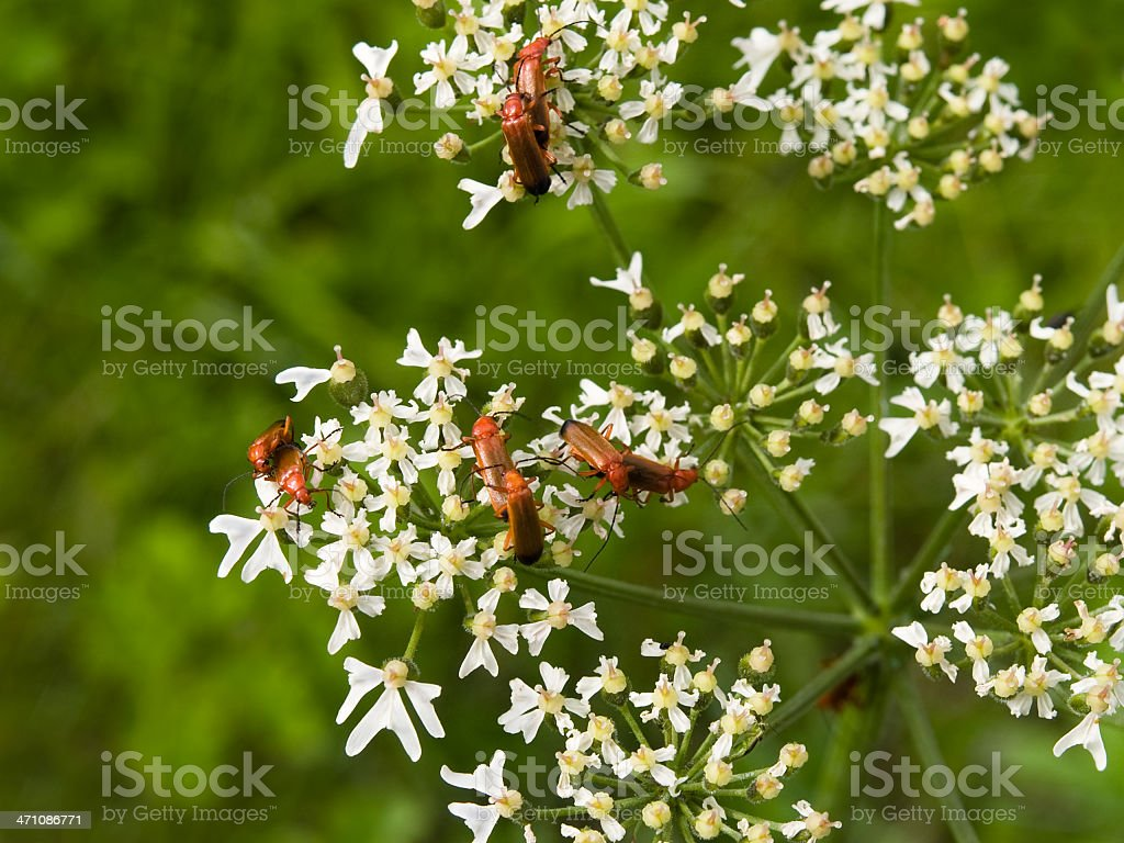 Red beetles royalty-free stock photo