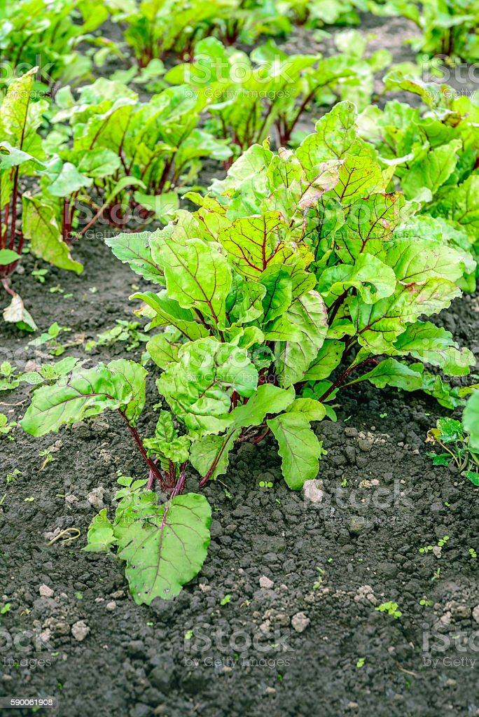 Red beets plants from close in open field stock photo