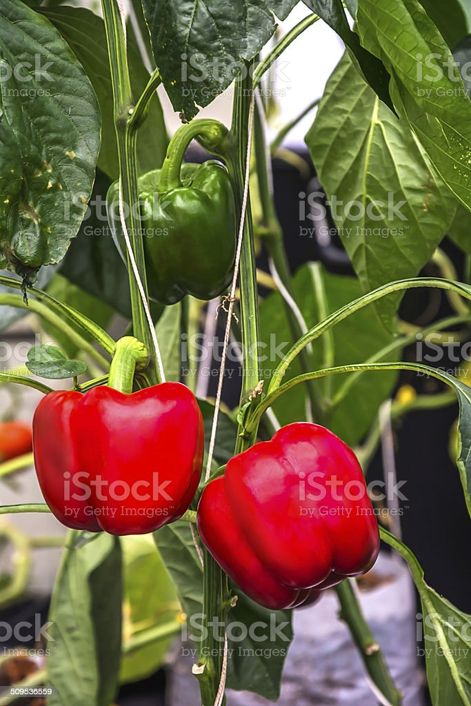 Red bell peppers. stock photo