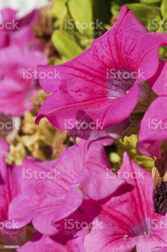 red bellflower stock photo