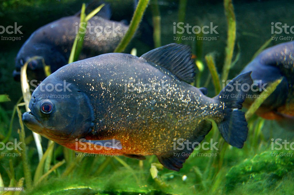 Red Bellied Piranha Fish in Aquarium stock photo
