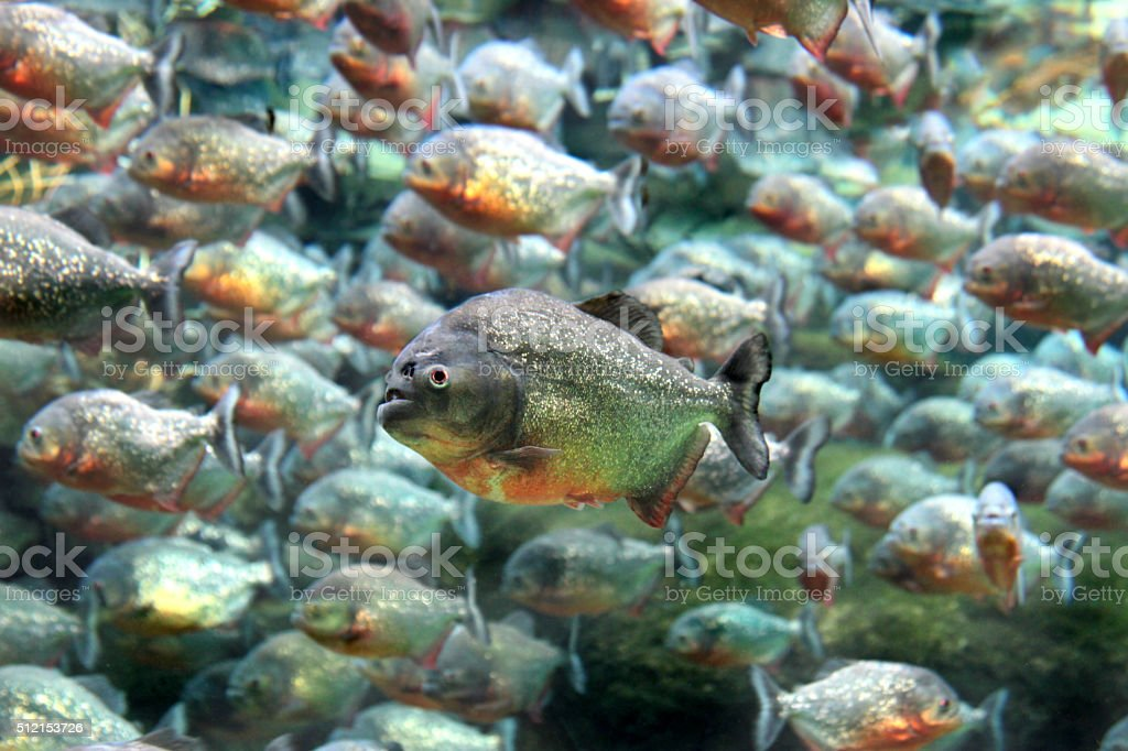 Red bellied piranha swimming underwater. stock photo