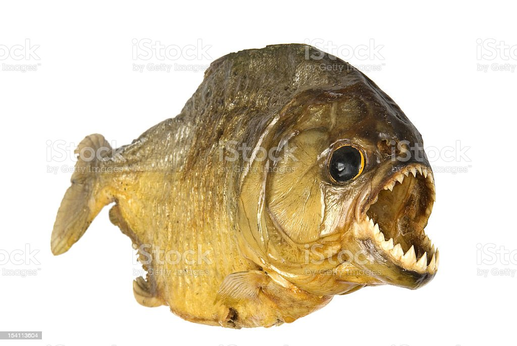 Red Belly Piranha looking hungry on a white background. stock photo