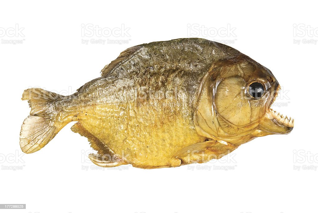 Red Belly Piranha on white background stock photo