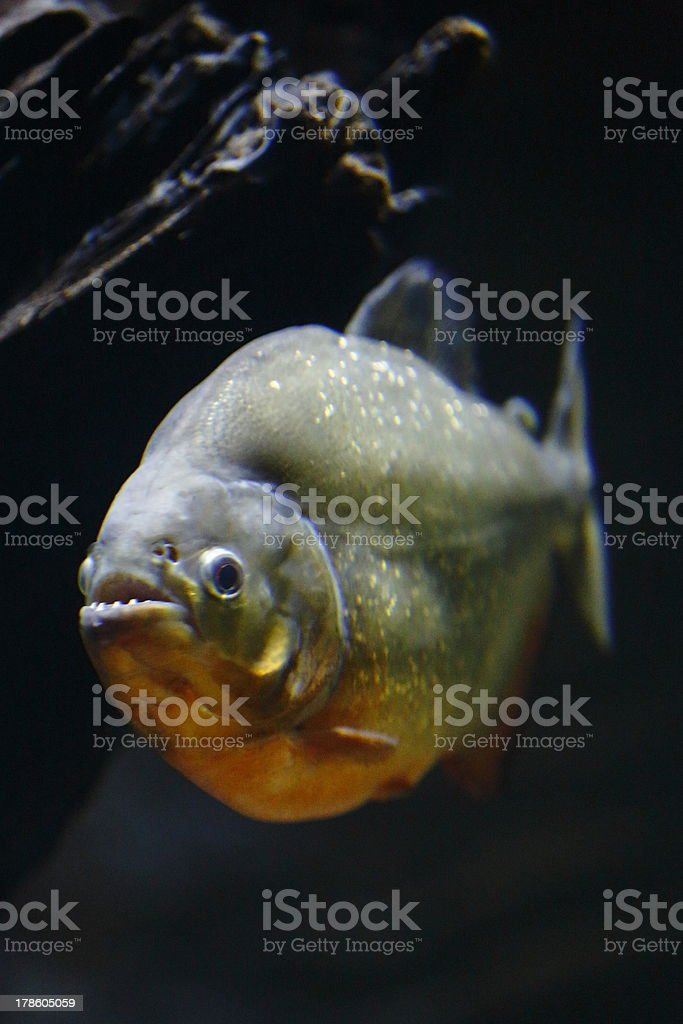 Red Belly Piranha stock photo