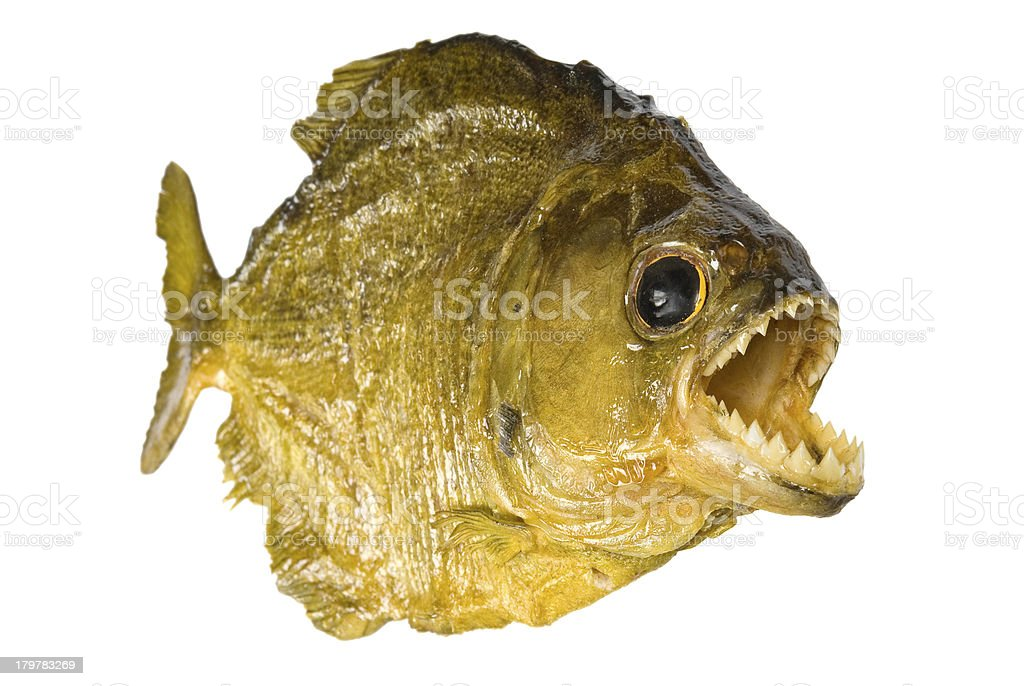 Red Belly Piranha with mouth wide open, isolated on white. stock photo