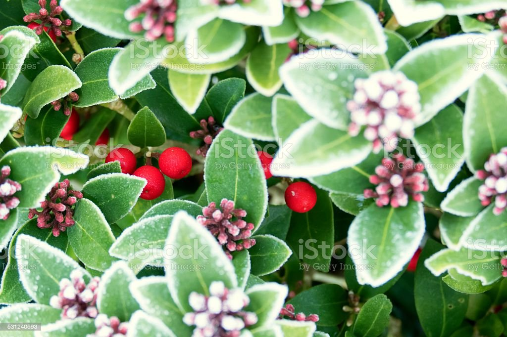 Red berries and flowers of Skimmia Japonica in winter stock photo