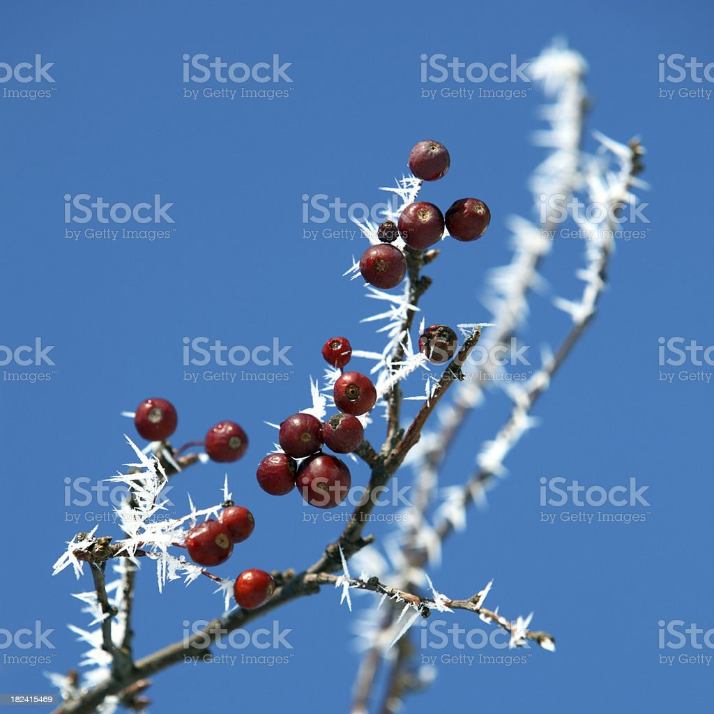 Red Berries and Frost royalty-free stock photo