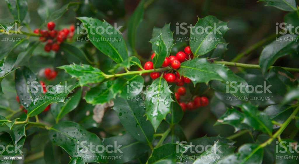 Red berries from a holly tree. Holly tree under rain. stock photo
