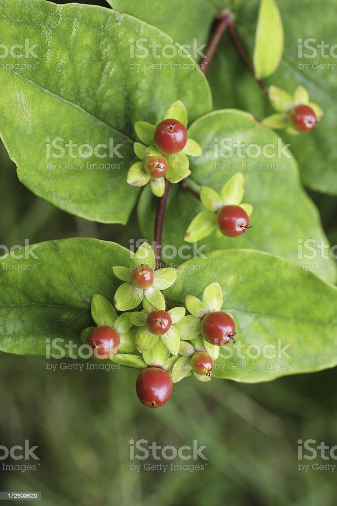 Red berries fruit of tutsan Hypericum androsaemum royalty-free stock photo