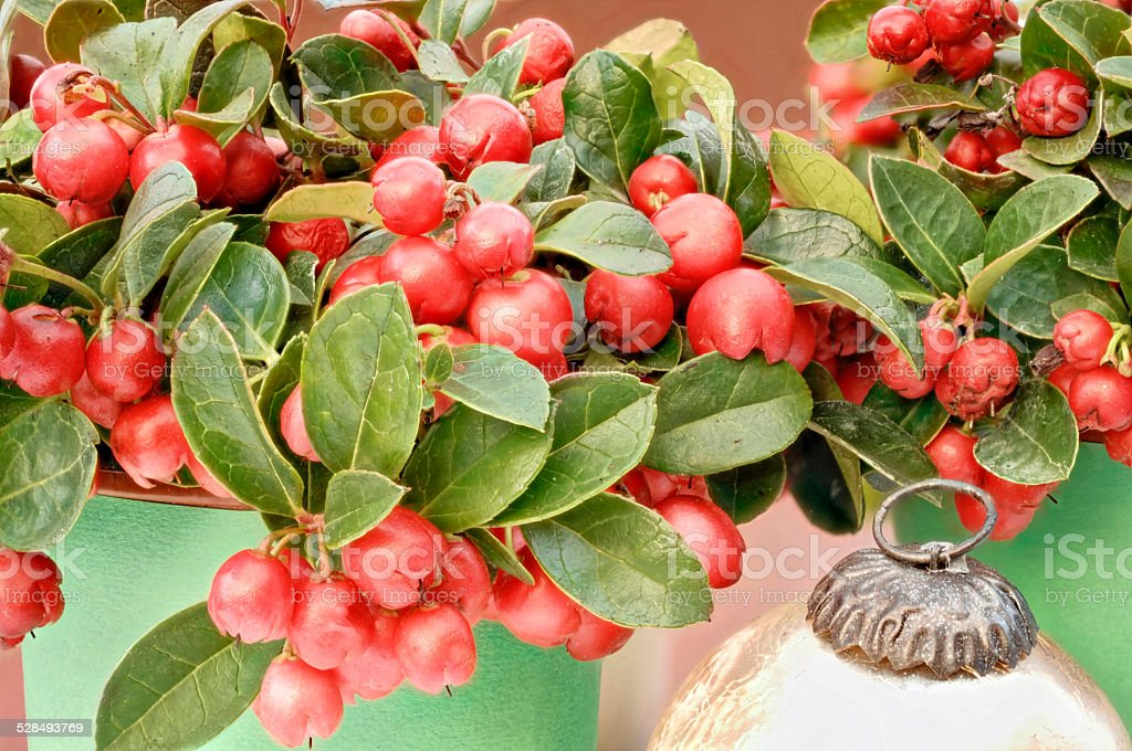red berries Gaultheria stock photo