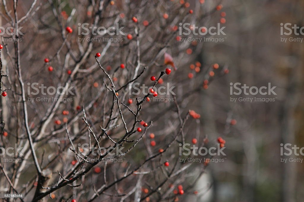Red berries in bare winter tree stock photo