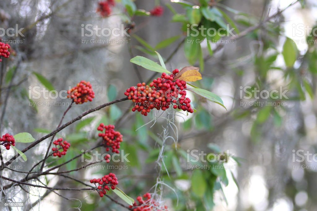 Red berries in front of Spanish moss stock photo