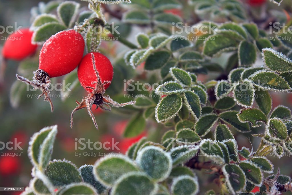 Red berries in the frost stock photo
