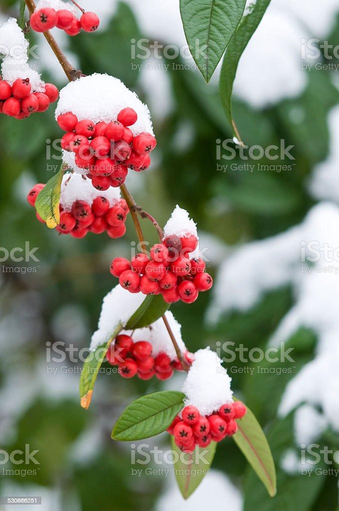 Red berries (Rockspray cotoneaster) in winter stock photo