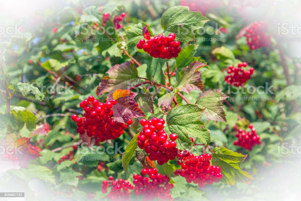 Red berries of a guelder-rose bush stock photo