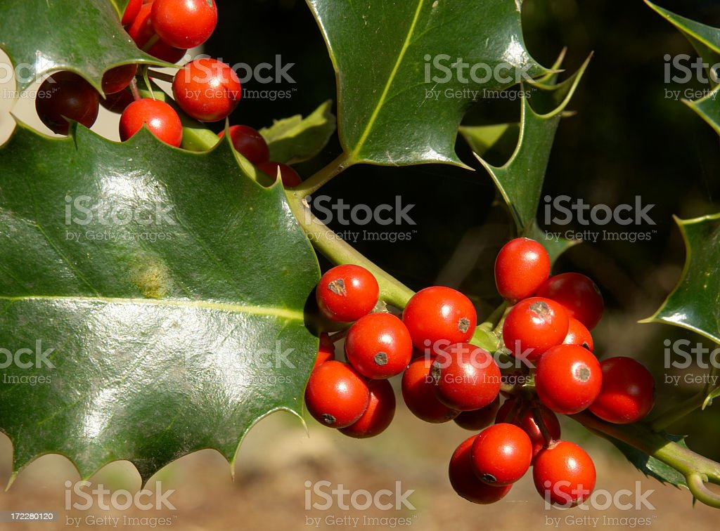 Red Berries of Holly (Ilex aquilinum) royalty-free stock photo