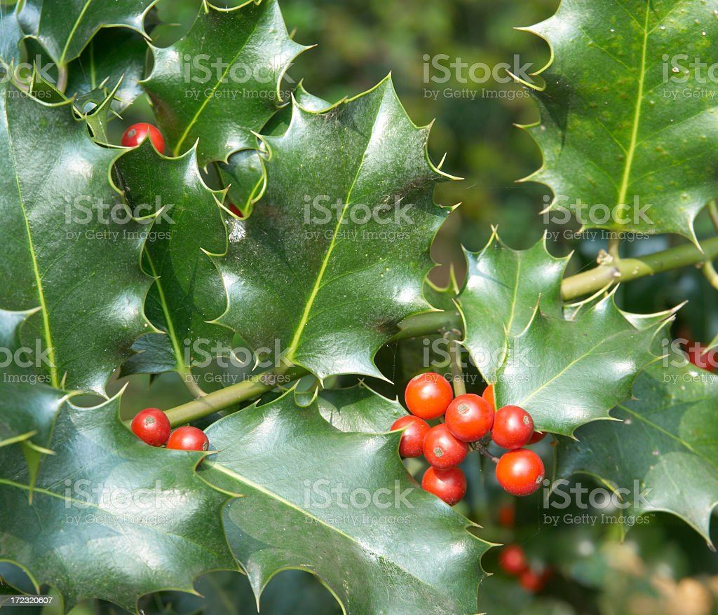 Red Berries of Holly (Ilex aquifolium) royalty-free stock photo