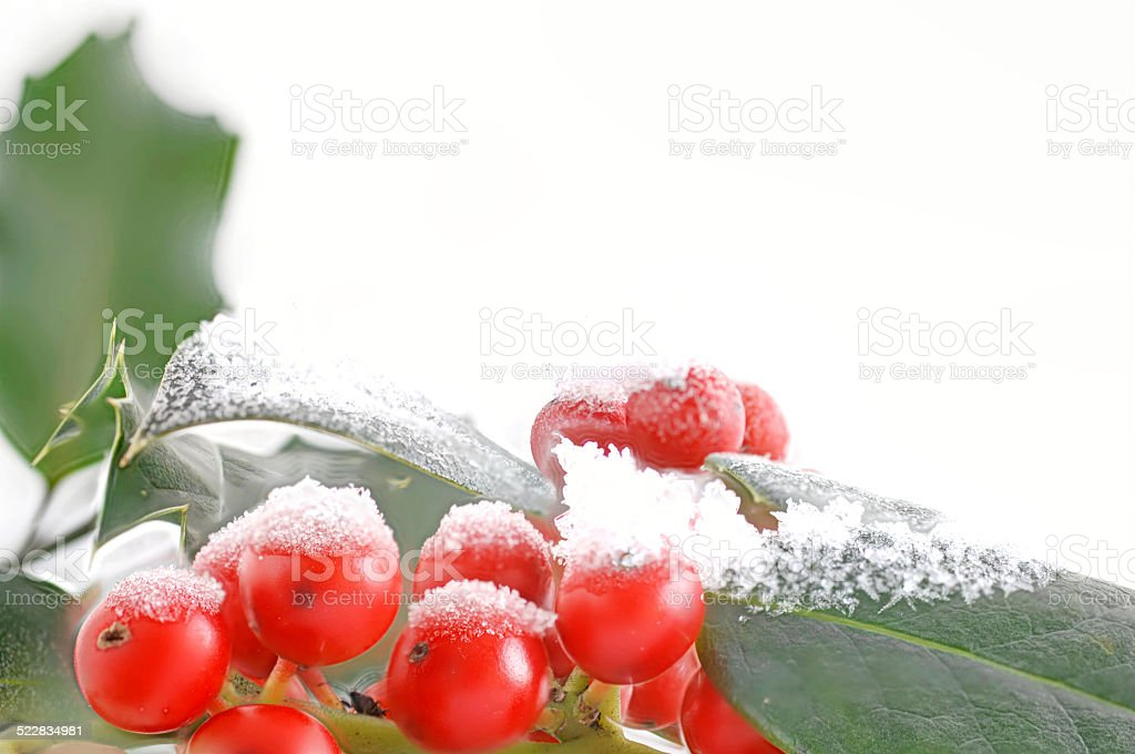 red berries of holly with snow stock photo