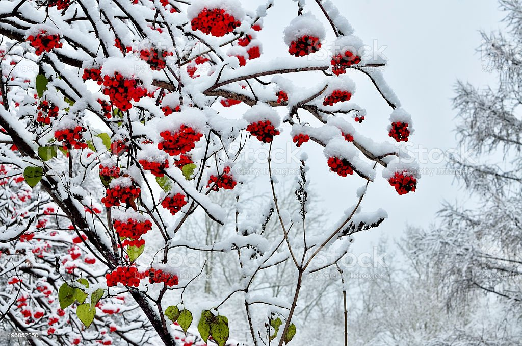 Red berries of rowan and last green leaves snow covered stock photo