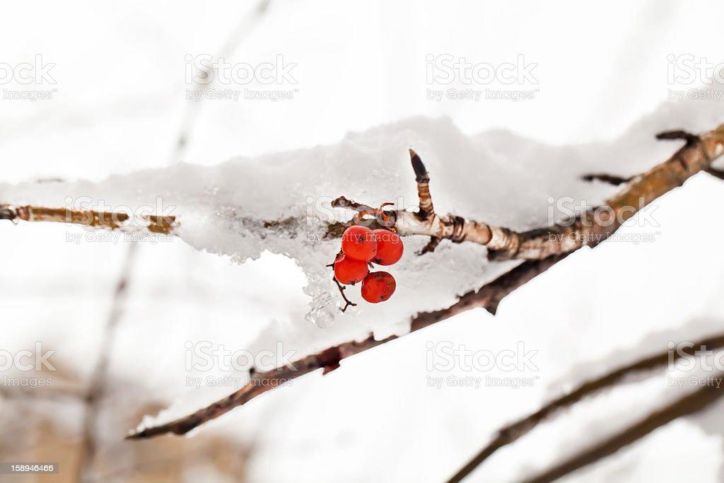 Red berries of rowan tree under snow royalty-free stock photo