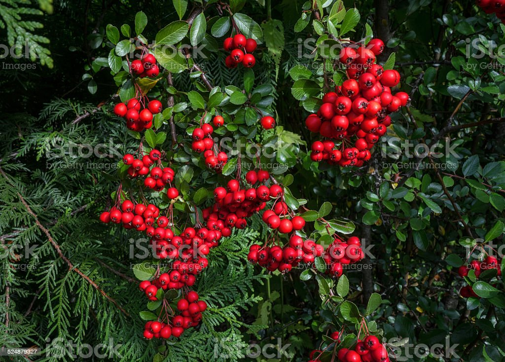 Red berries of the Pyracantha stock photo