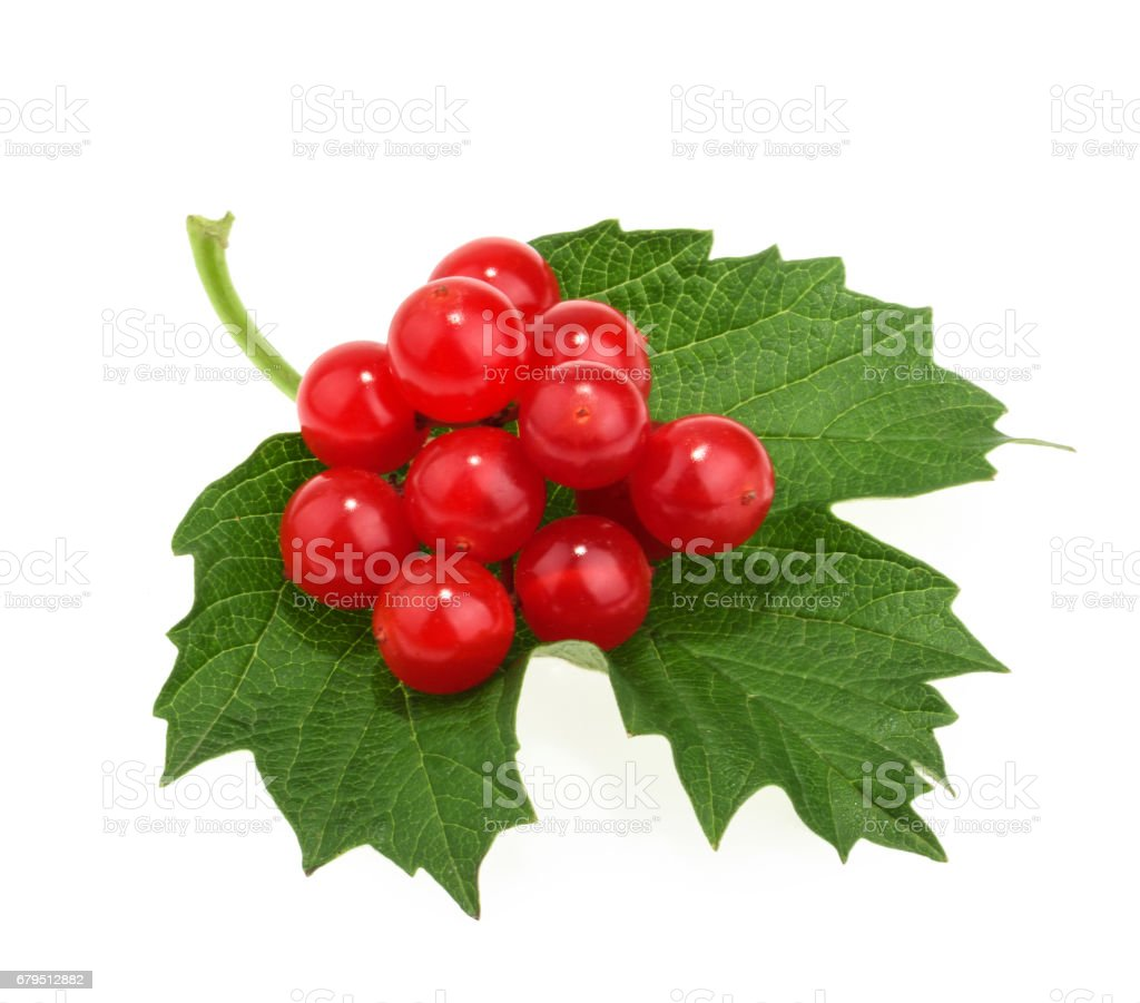 Red berries of Viburnum (arrow wood), isolated on white stock photo