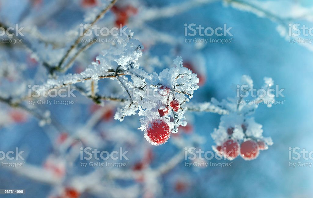 Red berries of viburnum with hoarfrost stock photo