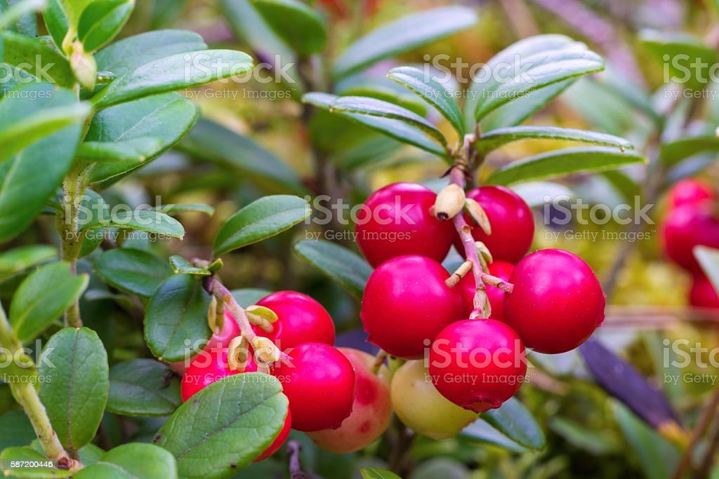red berries of wild cowberry closeup stock photo