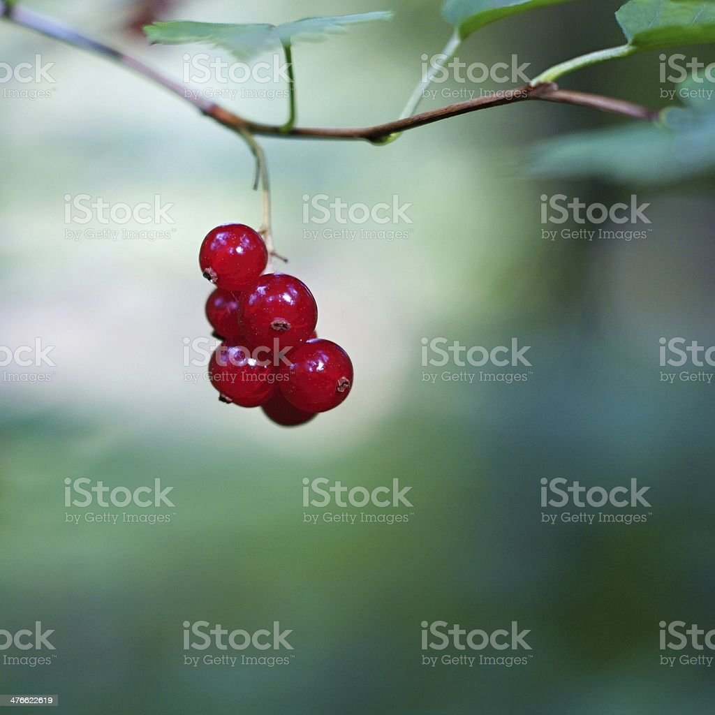 Red berries of wild currant royalty-free stock photo