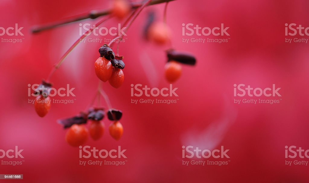 Red berries on a burning bush plant stock photo