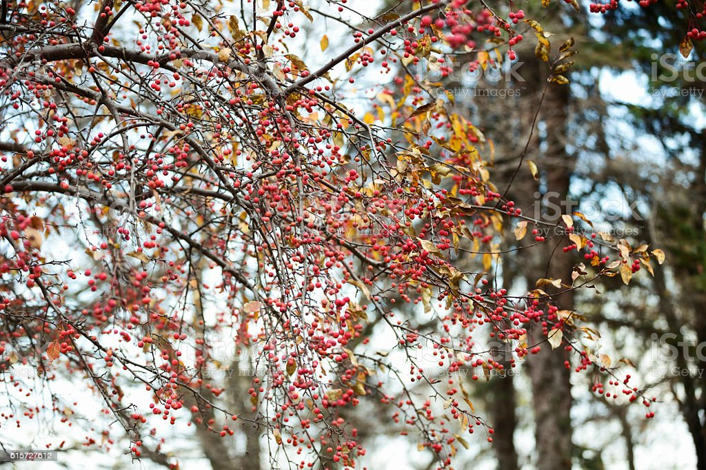 Red Berries on a Flowering Crabapple Tree in Autumn stock photo