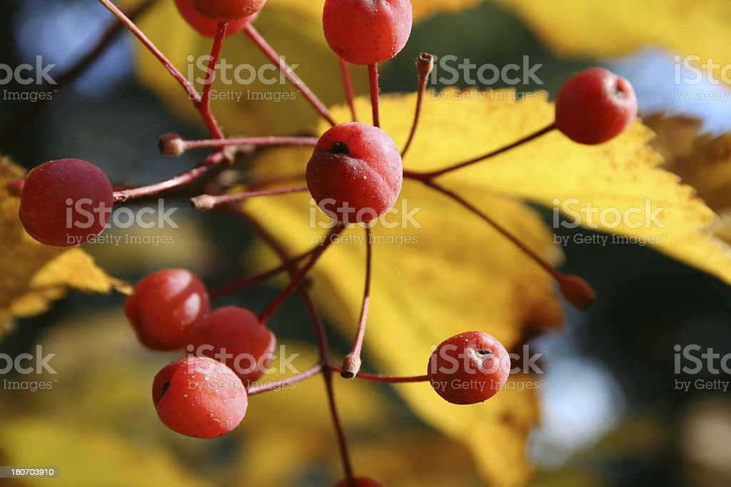 red berries on an autumn day royalty-free stock photo