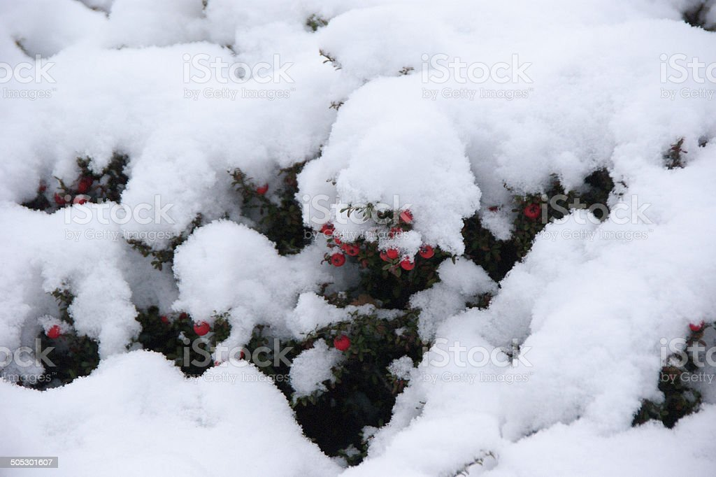 Red berries on snow covered bush royalty-free stock photo