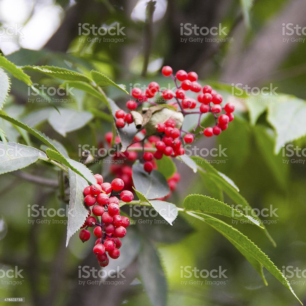 Red berries on the tree royalty-free stock photo