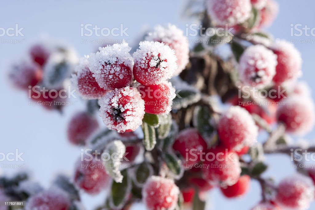 red berries royalty-free stock photo