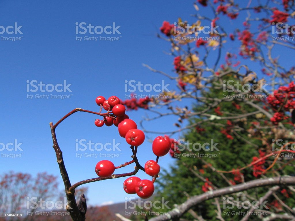 Red Berries(Crab Apples) stock photo