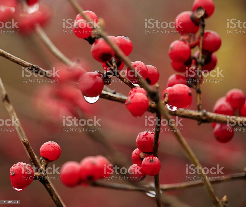 Red Berries stock photo