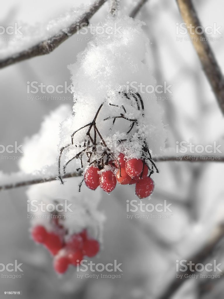 Red berries under snow royalty-free stock photo
