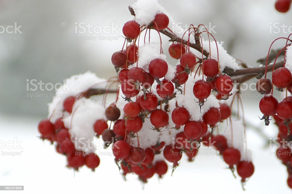 Red Berries with Winter Snow royalty-free stock photo
