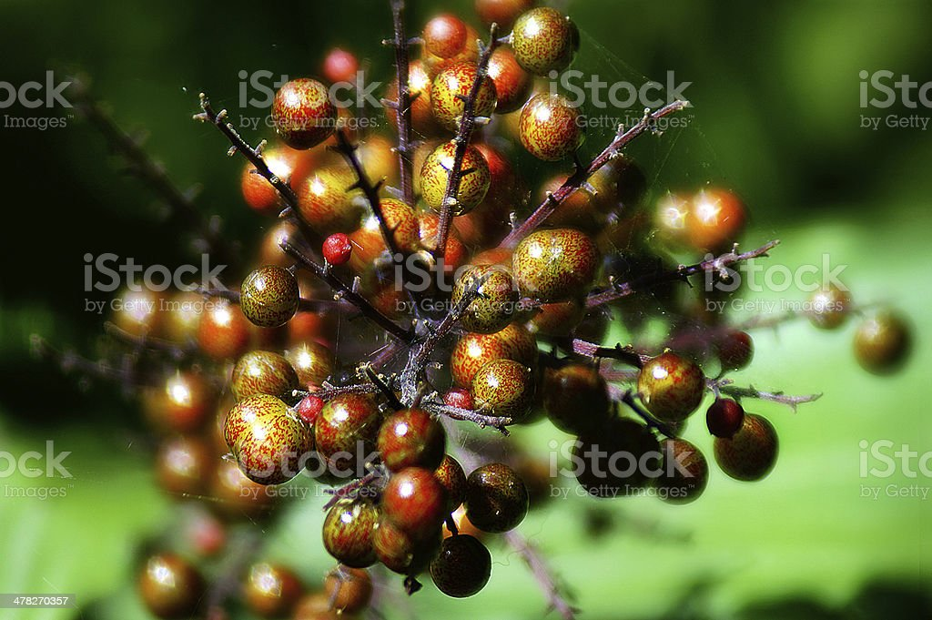 red berry branches royalty-free stock photo