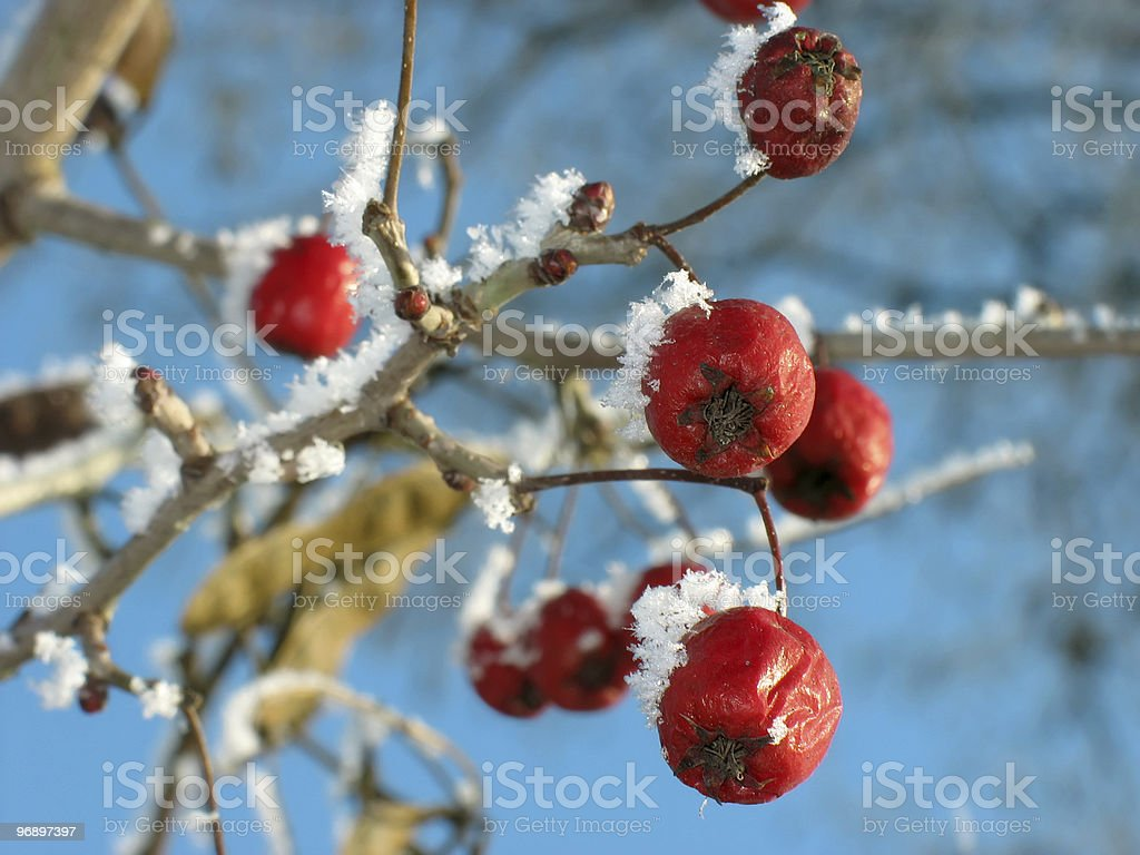 Red berry  hawthorn food for birds. Winter. royalty-free stock photo
