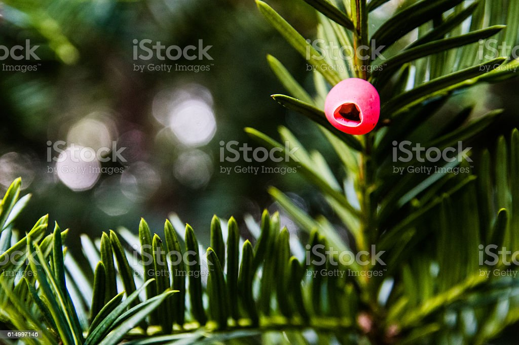 Red Berry of a Yew Tree (Taxus baccata) stock photo